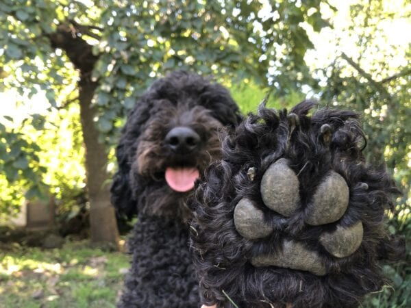 Melanies dog Angus DOB 31st May 2017 600x450 - Conscious Cafe Psychic Paw Readings